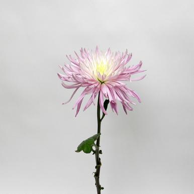 Chrysanthème Lila