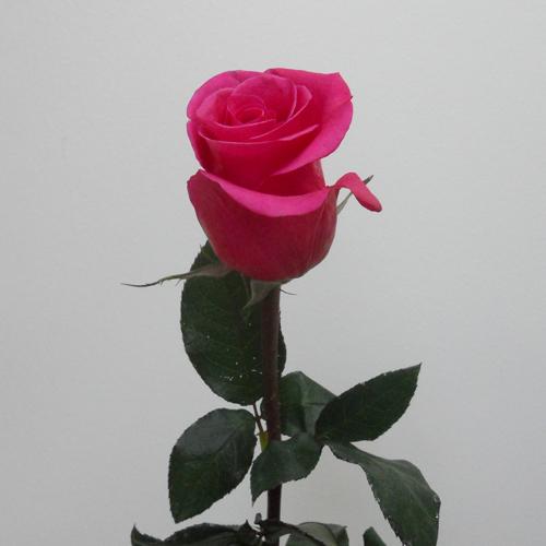 Rose Malena